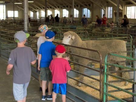 Sheep and Kids - eye to eye